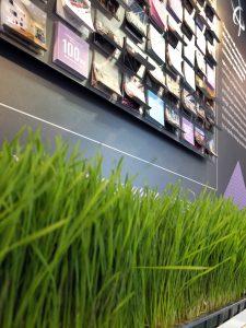 Naural wheatgrass
